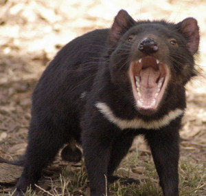 tasmanian_devil_24